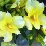 黄色のアルスとロメリアの花言葉の意味と由来とは?