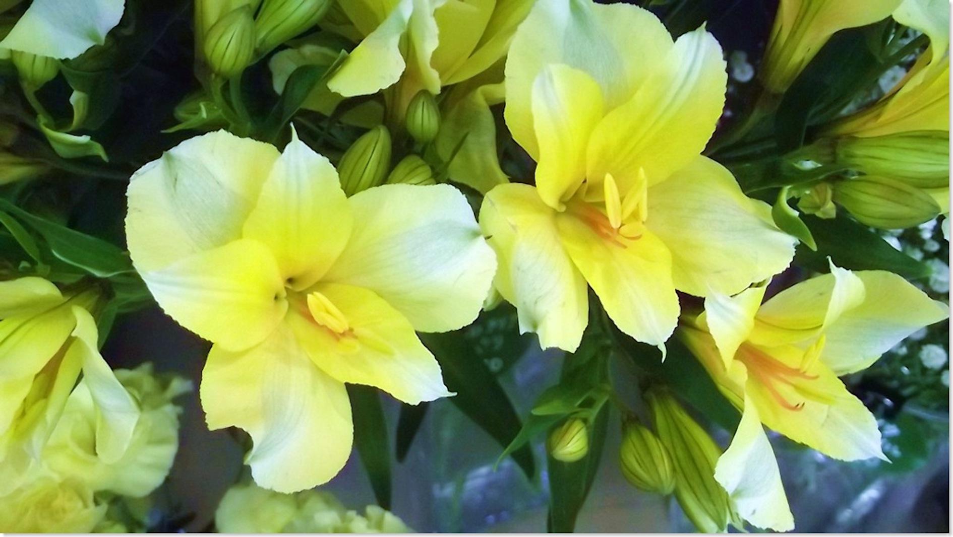 アルストロメリア 花言葉 黄