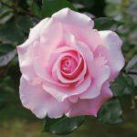 花持ちがいいバラ!ブリーズの特徴について