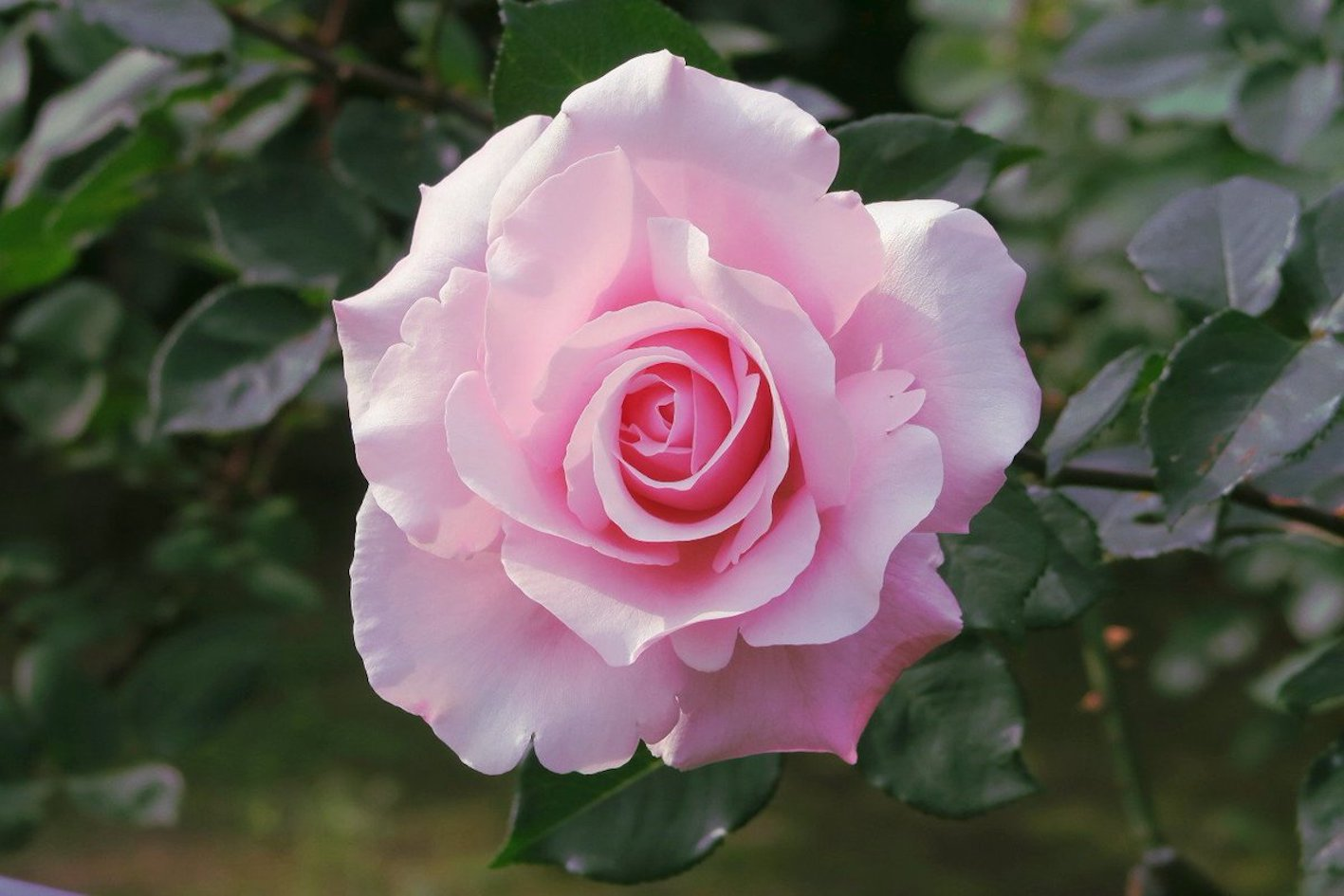 バラ ブリーズ 花持ち