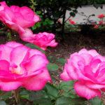ピンク系のつるバラの品種について