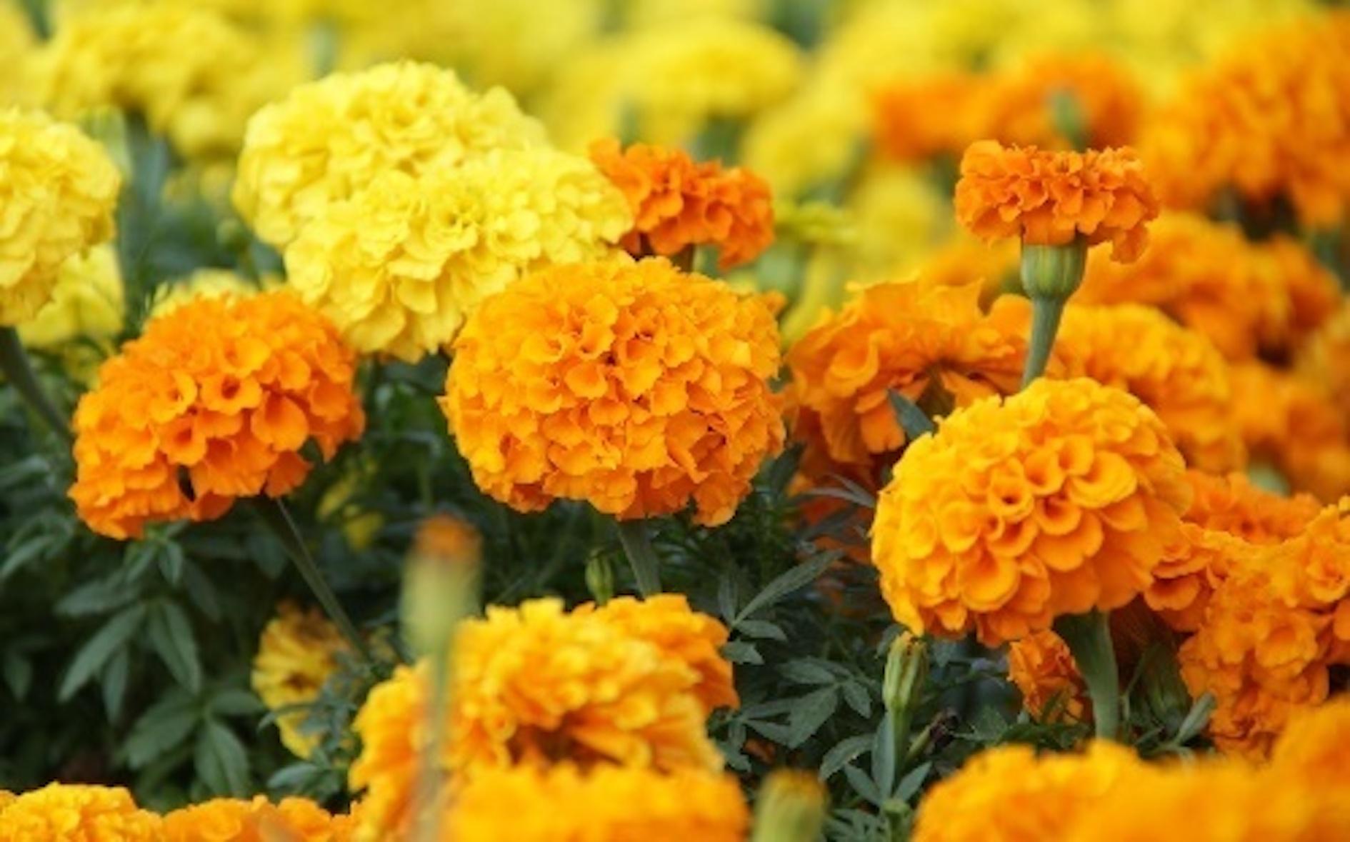 マリーゴールド 花言葉 色