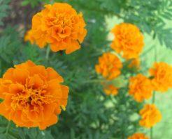 マリーゴールド 押し花 作り方
