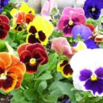 花壇のパンジーを楽しむ!綺麗な配色パターンを紹介!