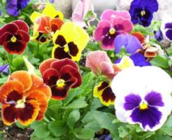 パンジー 花壇 配色