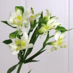 白色のアルストロメリアの花言葉の意味と由来とは?