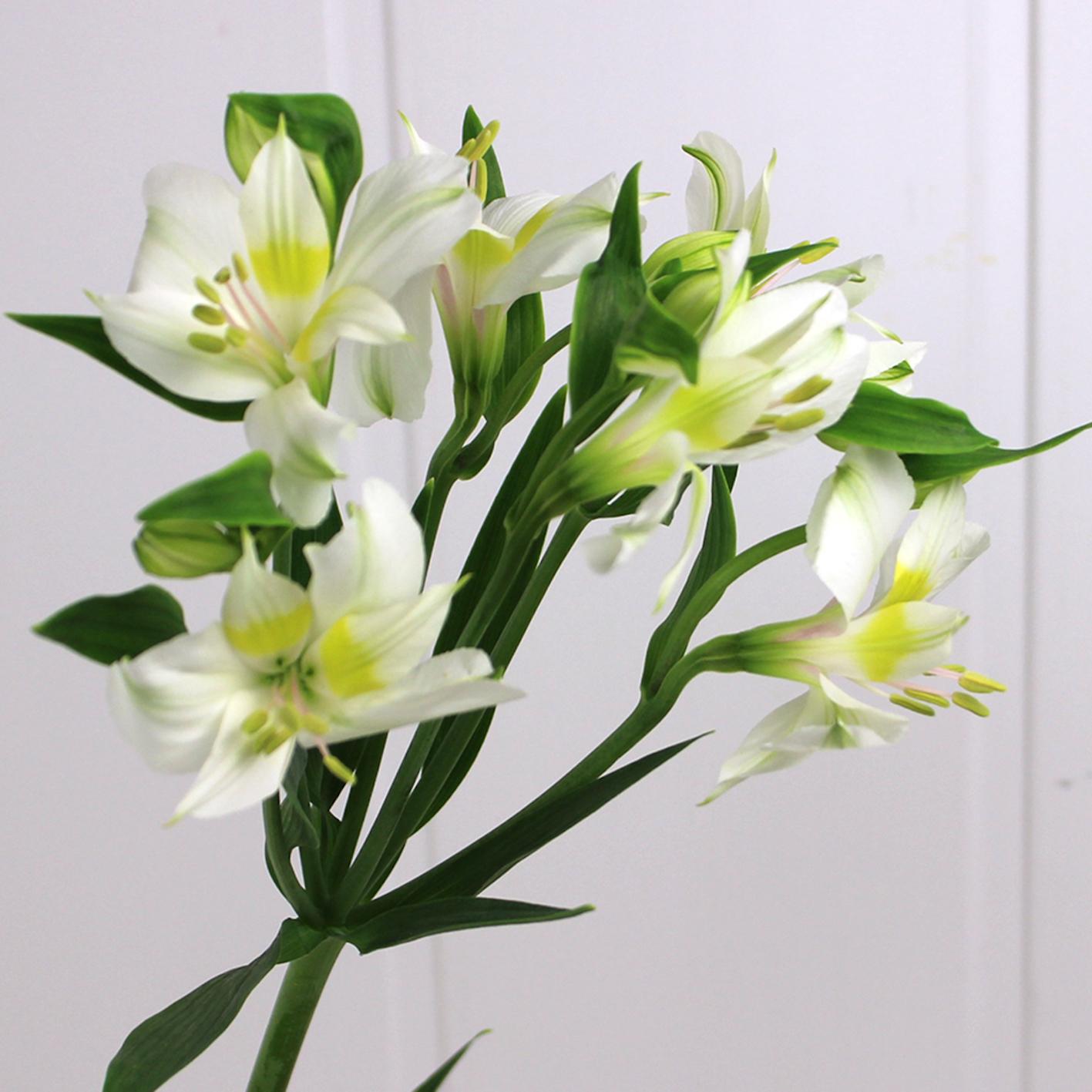 アルストロメリア 白 花言葉