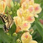 アルストロメリアの品種 おぼろづきは何色の花?特徴は?
