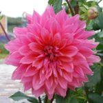 ダリアの花言葉には感謝の意味と裏切りの意味がある!?