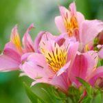 アルストロメリア ブライズメイドの花の色や特徴とは?