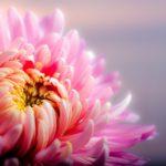 菊の葉がかかりやすい病気の種類について