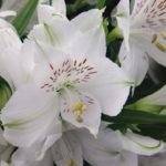 アルストロメリアの品種 エベレストは何色の花?特徴は?