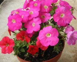 ペチュニア 花言葉 色
