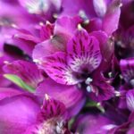 アルストロメリアの花の色別に品種一覧を大公開!