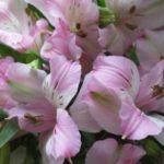 アルストロメリアの品種 セレステは何色の花?特徴は?