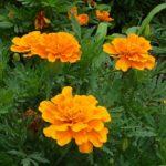 マリーゴールドの花壇植えで相性がいい花とは!?