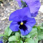 パンジーのつぼみが付いても花が咲かずに枯れる原因とは?