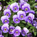 パンジーの色の種類別の花言葉や由来について