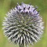 アザミの花の英語での読み方や発音、スペル(つづり)は?
