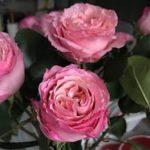 バラに発生するゾウムシの駆除方法について