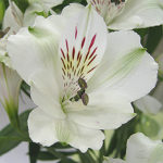 アルストロメリアの品種 キッスは何色の花?特徴は?