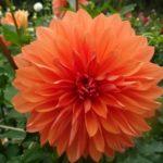 オレンジ色のダリアの品種をご紹介!
