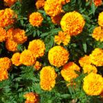 マリーゴールドの種から芽が出ない原因や対策法について