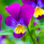 パンジーの花壇での育て方や種まきの方法について