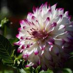 ダリアの病気。花や葉に発生する害虫の駆除方法について