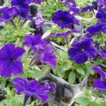 ペチュニアの花がなかなか咲かない、、原因とは!?
