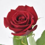 バラの種類サムライの特徴や値段について