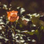 バラの活力剤の正しい使い方や時期について