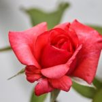 バラの石灰硫黄合剤の使い方や時期について