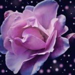 3月のバラのお手入れ方法や剪定について