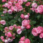 寒冷地に強いバラの品種は何!?