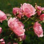 バラの種類アブラハムダービーの育て方について