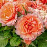 バラの植え替え失敗の原因や失敗しないためのコツ