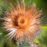 アザミの花には毒があるって本当?