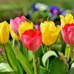 花びらがギザギザな形のチューリップの品種とは!?