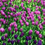 チューリップの花弁の数やおしべの数について