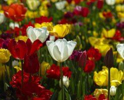 チューリップ 花束 価格