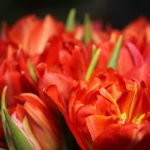 チューリップの花びらの保存!押し花の作り方について