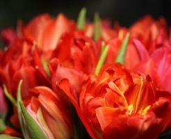 チューリップ 花びら 押し花