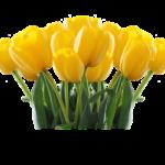 上湧別のチューリップの見頃の時期や開花状況について