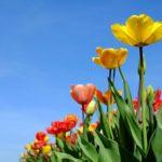 チューリップの咲き方の種類は何種類あるの!?