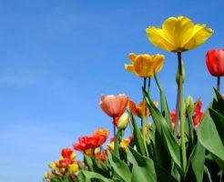 チューリップ 種類 咲き方