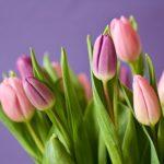 フリンジ咲き系のチューリップの品種について