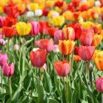 チューリップの花には毒があるって知ってた?毒性について