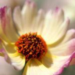 コレオプシス スタークラスターの花の色とは?特徴は?