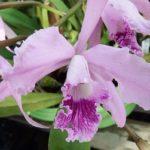 カトレア ロバータ セルレアは何色の花?特徴は?